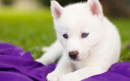 Puppy blue eyes
