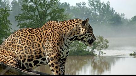 Leopard - wallpaper