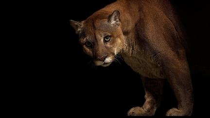 Puma - animal wallpaper