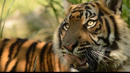 Tiger - HD wallpaper
