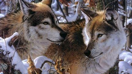 Wolf couple