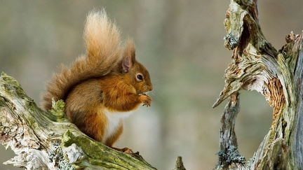 Squirrel - Wallpaper