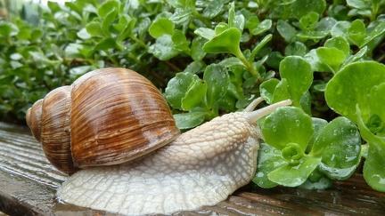 Snail - wallpaper