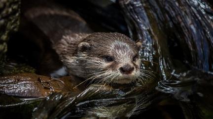 Otter - desktop wallpapers