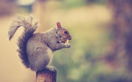 Squirrel - HD wallpaper