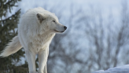 Loup blanc - wallpaper