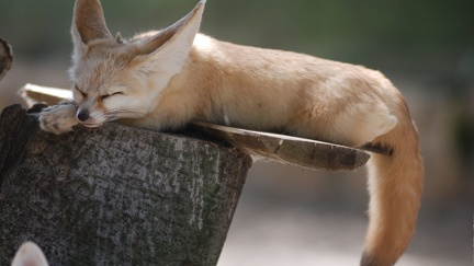 Fennec asleep