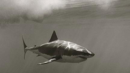 White shark - wallpaper