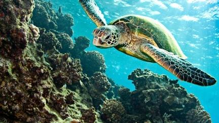 Sea turtle - wallpaper