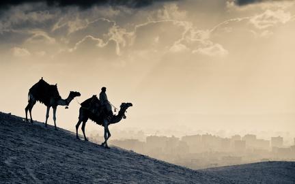 Dromedaries in the desert