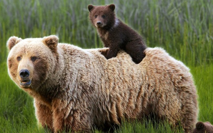 Grizzly et ourson