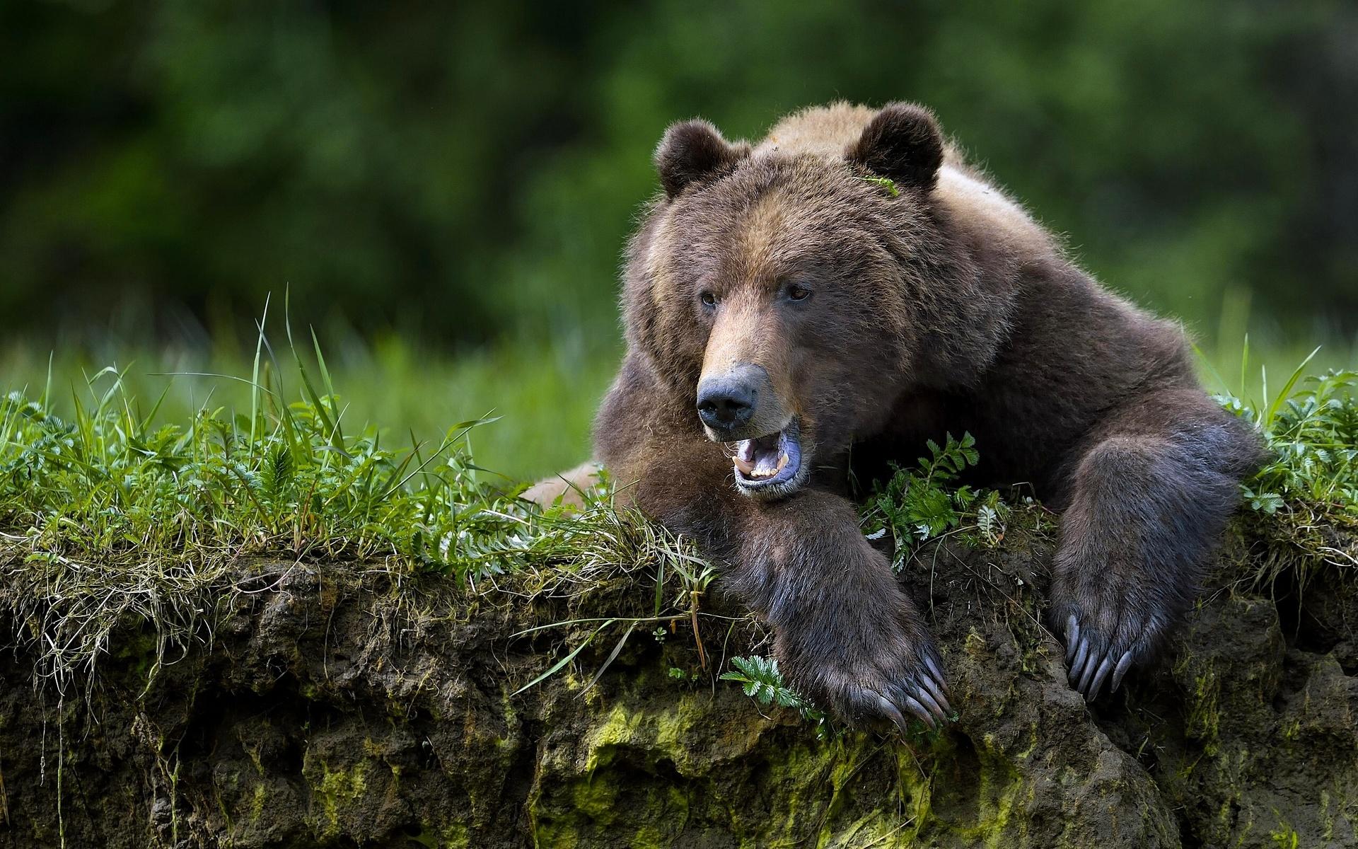 Cri ours brun - Fond d'écran HD