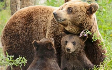 Bear family - wallpaper (1)