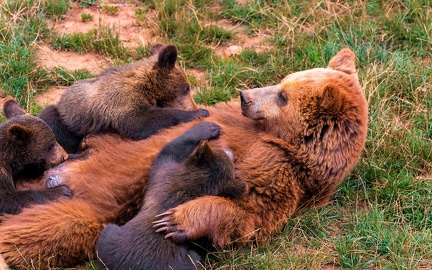Bear family - wallpaper (3)