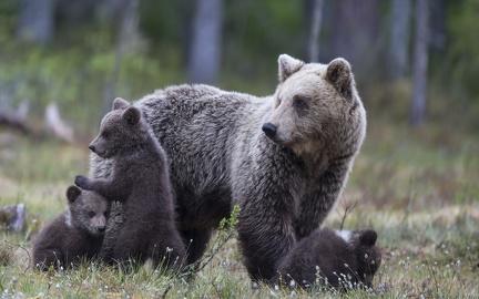 Bear family - wallpaper (5)