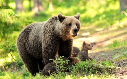 Famille ours bruns