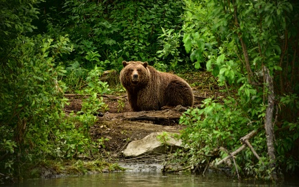 Grizzly in the forest