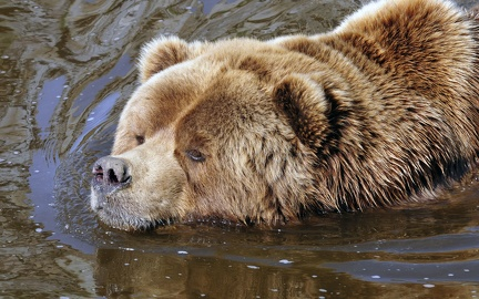 Grizzly in the water