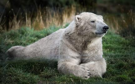 White bear - Wallpaper