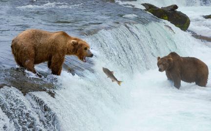 Bear and salmon - wallpaper