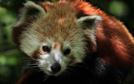 Panda red HD wallpaper