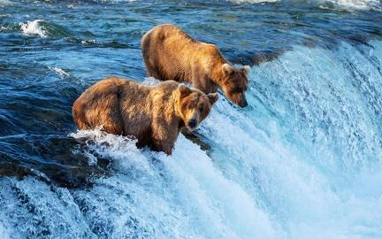 Salmon fishing - brown bears