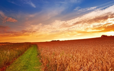 Wheat Fields - Sunset