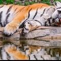 Tigre endormi