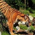 Tigre et son petit