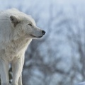 Loup blanc - wallpaper