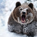 Grizzly   fond d'écran