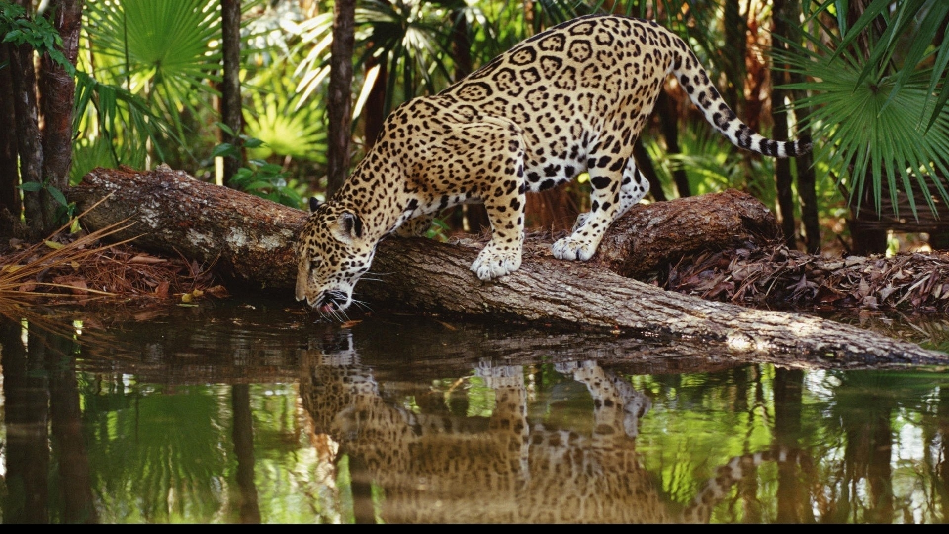 Jaguar Fond Ecran Nature Fond D Ecran Hd