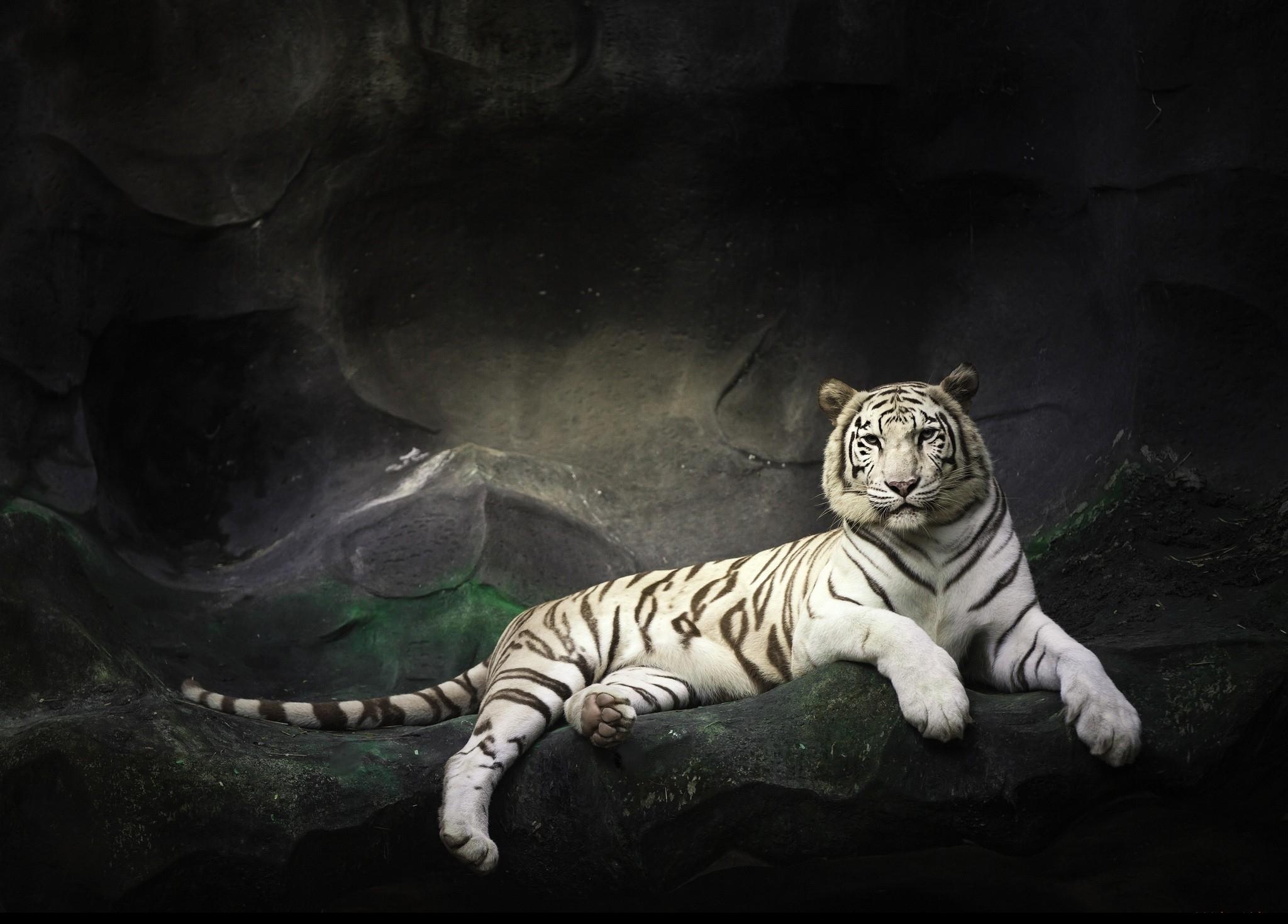 Le Tigre Blanc Fond D Ecran Hd
