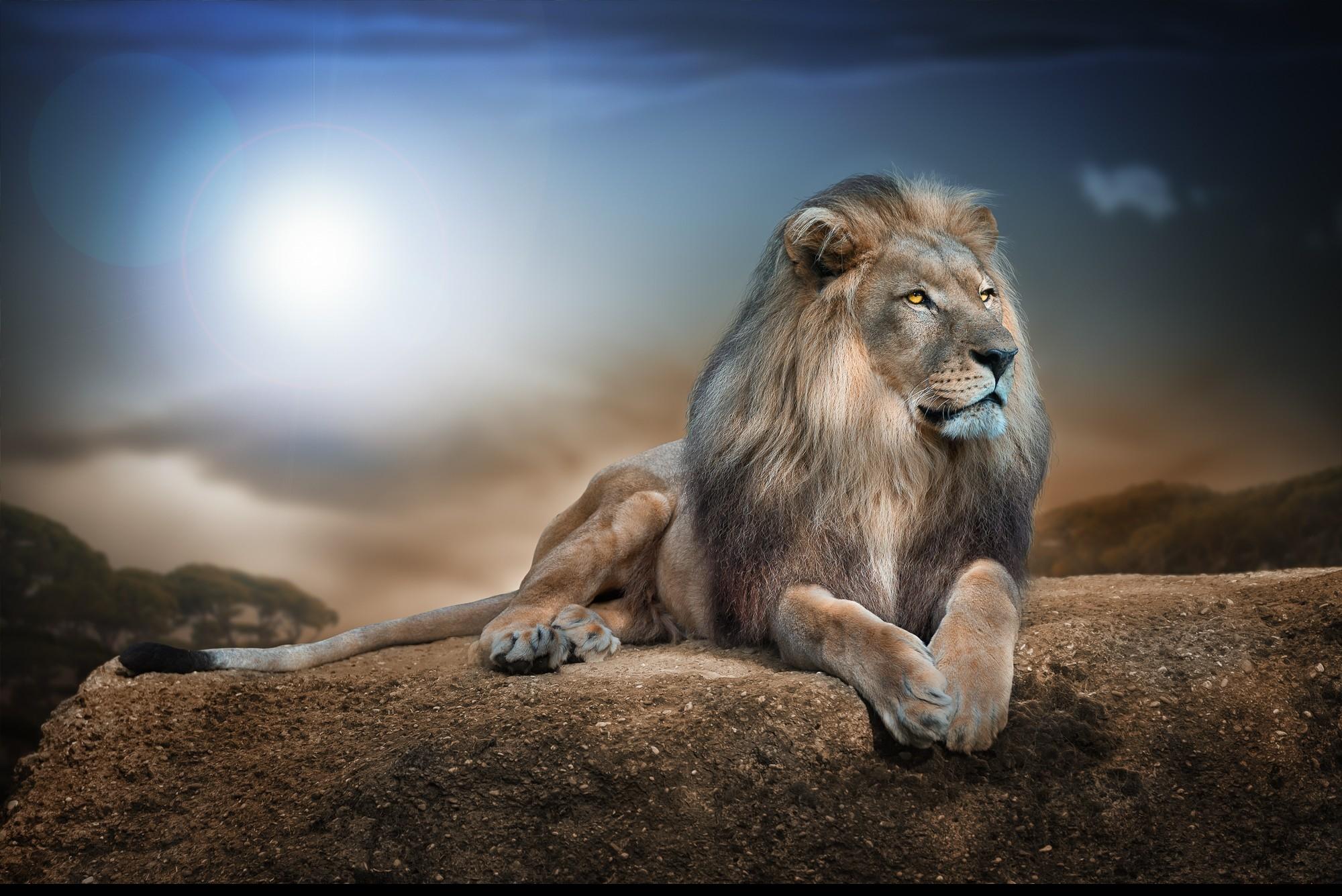 Lion Superbe Fond D Ecran Fond D Ecran Hd