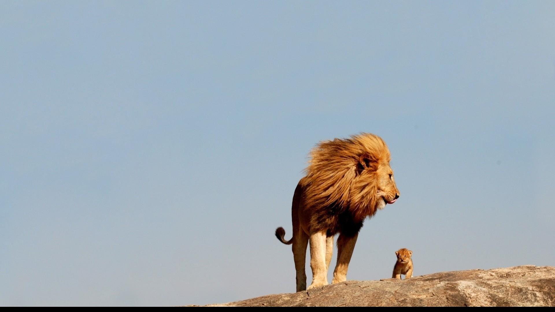 Lion Et Lionceau Fond D Ecran Hd