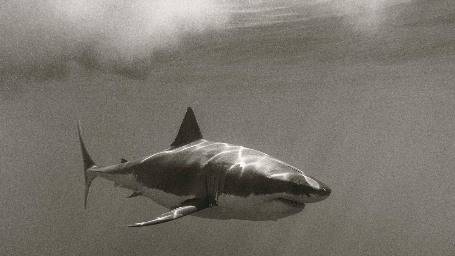 Requin Blanc Fond D écran Fond D écran Hd